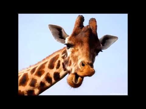 What sound does a giraffe make?