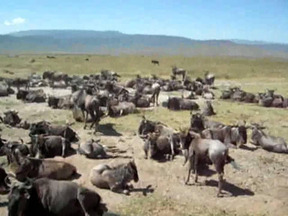 Tansania: Gnu Herde im Ngorongoro Krater - YouTube   {Herde 94}