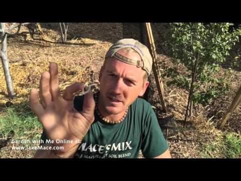 Planting a Moringa Oleifera Tree - Grow Superfood at Home