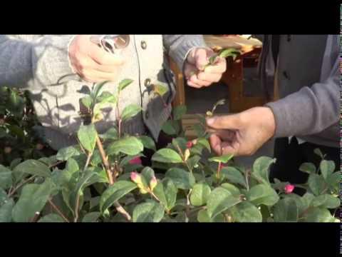 los cuidados de las camelias consejos de jardiner a