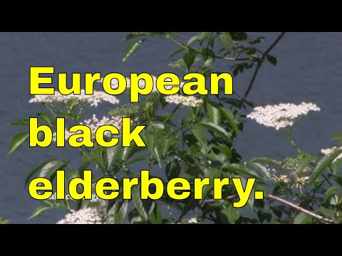 Tree ID: Elder (Sambucus Nigra) elderberry, black elder, European elder, European elderberry
