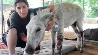 Abused Indian Donkey Rescued