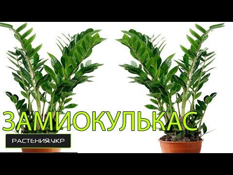 Как рассадить долларовое дерево? / Замиокулькас уход в домашних условиях.