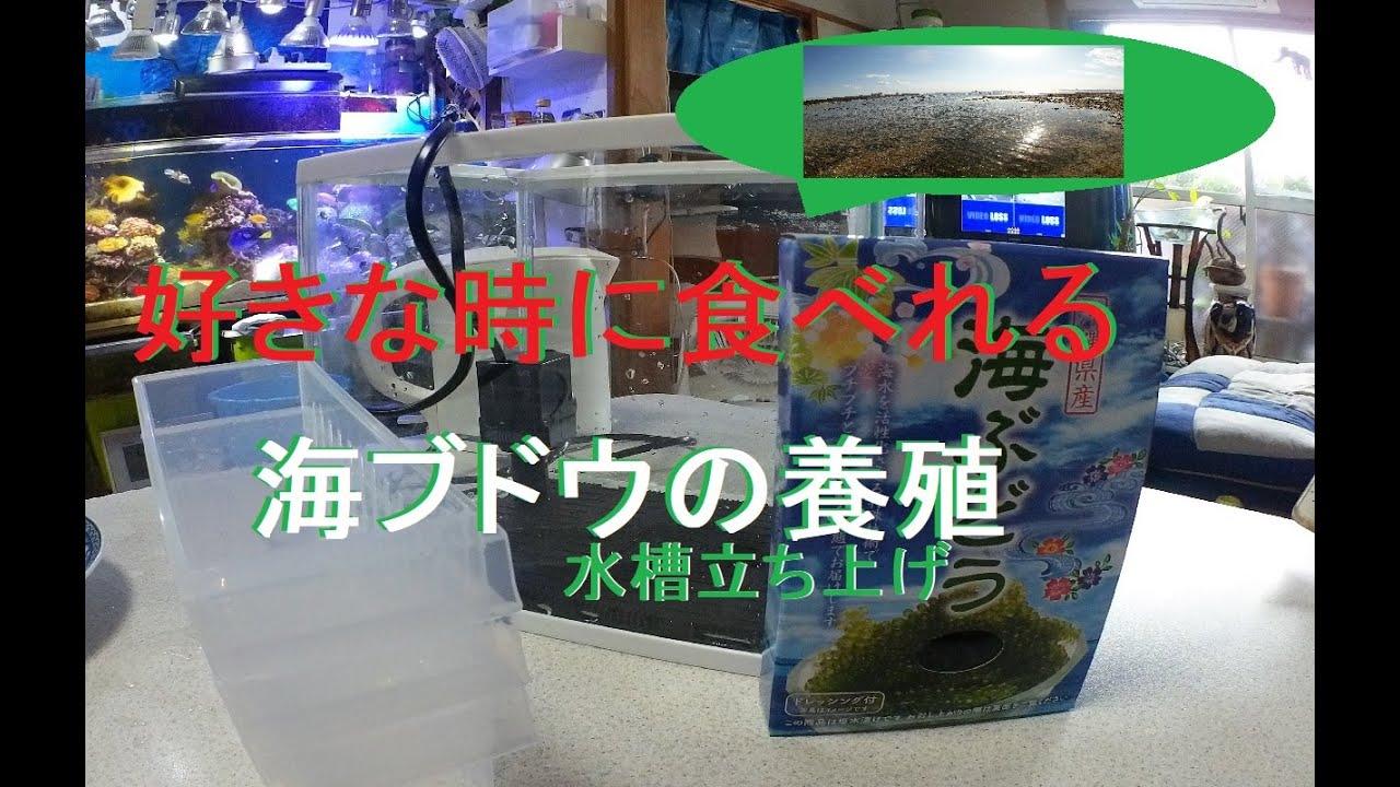 自宅で簡単 海ブドウの養殖水槽立ち上げ