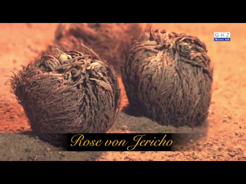 Rose of Jericho - Symbol for luck, love, and immortality