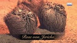 Rose von Jericho - Symbol für Glück, Liebe und Unvergänglichkeit