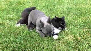 Brave French Bulldog Puppy Playing With Kitty