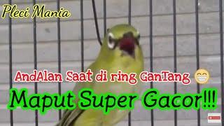 Pleci Maput super Gacor!!!