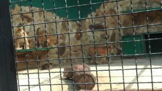 Тигрята котята
