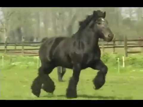 Тяжеловоз в движении. Brabant Belgian Horse. - YouTube