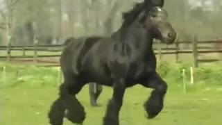 Тяжеловоз в движении. Brabant Belgian Horse.