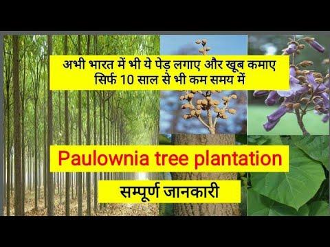 Paulownia tree plantation- Full information in Hindi - YouTube