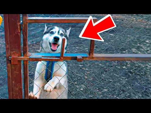 DOGVLOG: КАРОЛИНА РОЖАЕТ МОИХ ЩЕНКОВ ВЗАПЕРТИ!! (Хаски Бублик) Говорящая собака Mister Booble