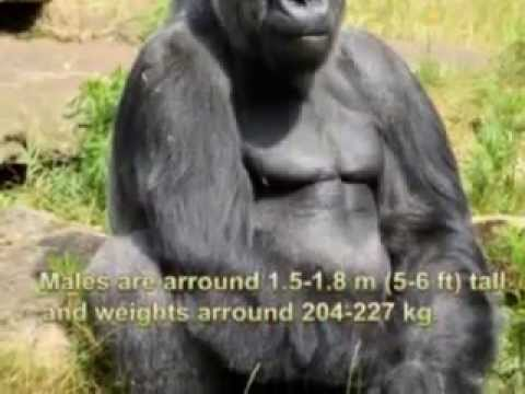 Gorillas Life Cycle - YouTube