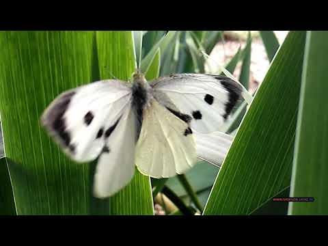 Бабочка Капустница или Белянка капустная. Large whiteCabbage butterfly, cabbage white, cabbage moth