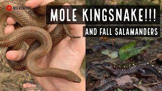 Mole Kingsnake and Fall Salamanders!