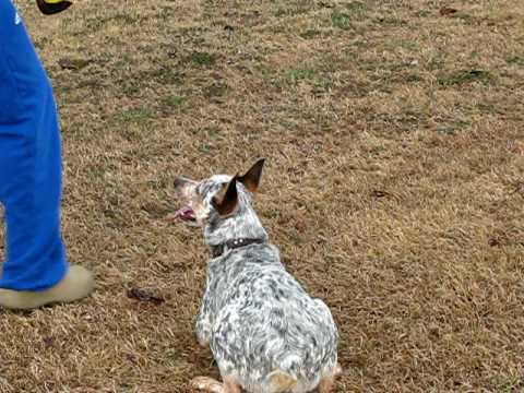 Australian Cattle Dog/Blue Heeler Playing Frisbee