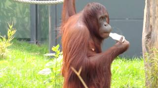 Orangutan Drinking Water From Bottle