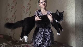 Большой кот мейн-кун на руках / Бесту 1 год 9 мес / Питомник Мейн-Кунов ЛИРИКУМ