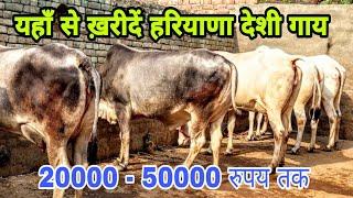 Show Qulaity Haryana Cows Available in Rohtak. Owner - Kala Choti Wala