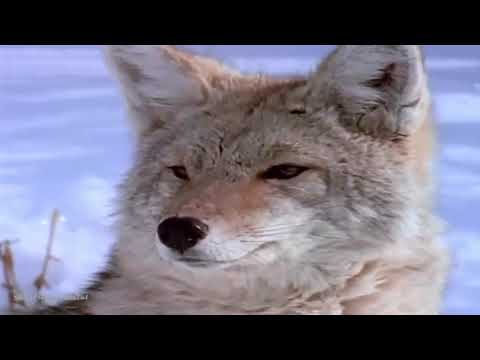 Yellowstone Realm of The Coyote Nature Documentary