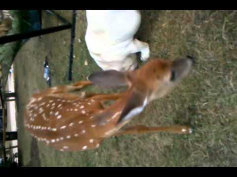 Bulldog & baby deer in love