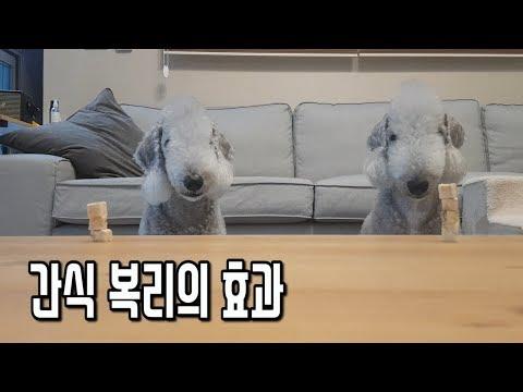 강아지 기다려!! 기다려훈련의 극대화/pet dog Bedlington Terrier puppy