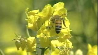 Beekeeping and pollination and canola