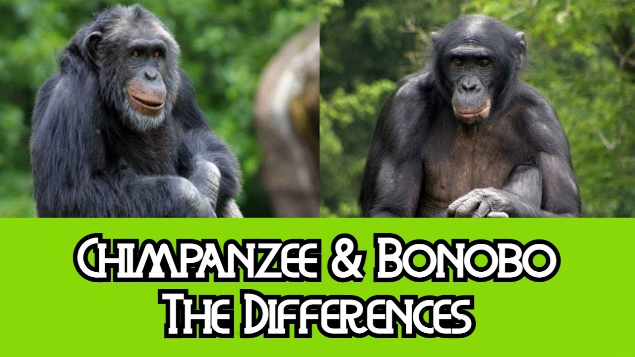 Chimpanzees & Bonobos - The Differences
