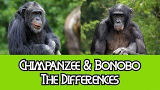 Chimpanzees & Bonobos - The Differences