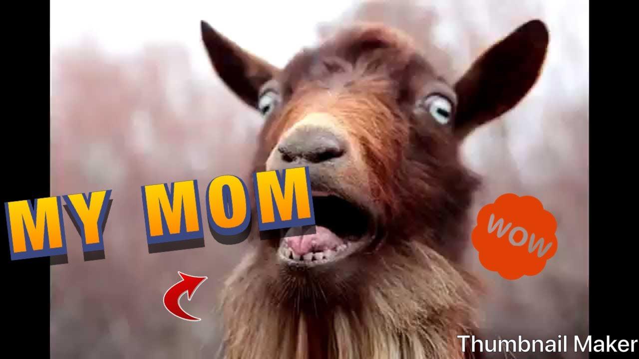 A Screaming Sheep   Funny sheep, Goats funny, Funny animals  Mom Screaming Goats Funny