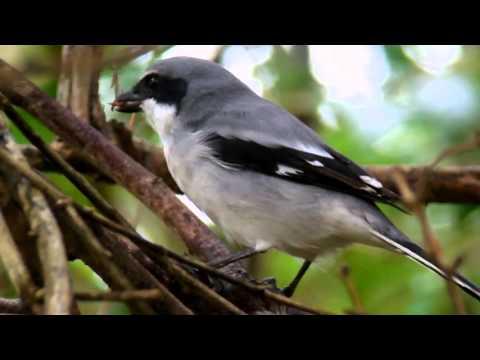 Loggerhead Shrike eating a Swainson's Warbler