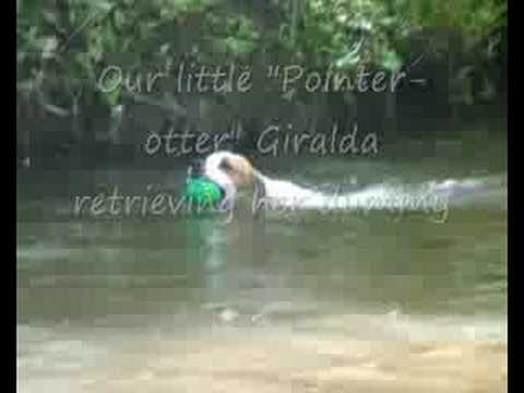 English Pointer in the river Luhe