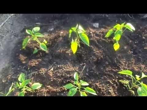 Как правильно высадить рассаду сладкого перца в открытый грунт. | предшественник | растениями_30_40 | расстояние | правильно | сладкого | открытый | высадить | рассаду | глубину | чеснок