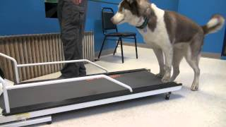 How To Train A Dog To Walk Or Run On A Treadmill | Tyler Muto Dogmanship
