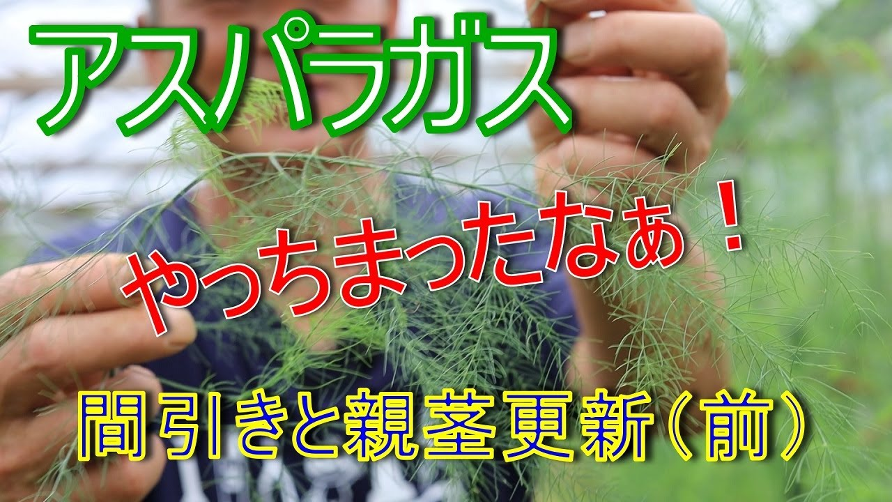 【アスパラガス】【栽培】【農家】間引きと親茎更新の現状 また極端なことを・・・!2021/6