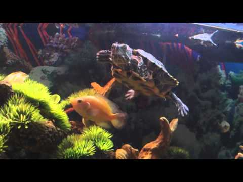 Awesome Turtle Tank Setup With Cichlids