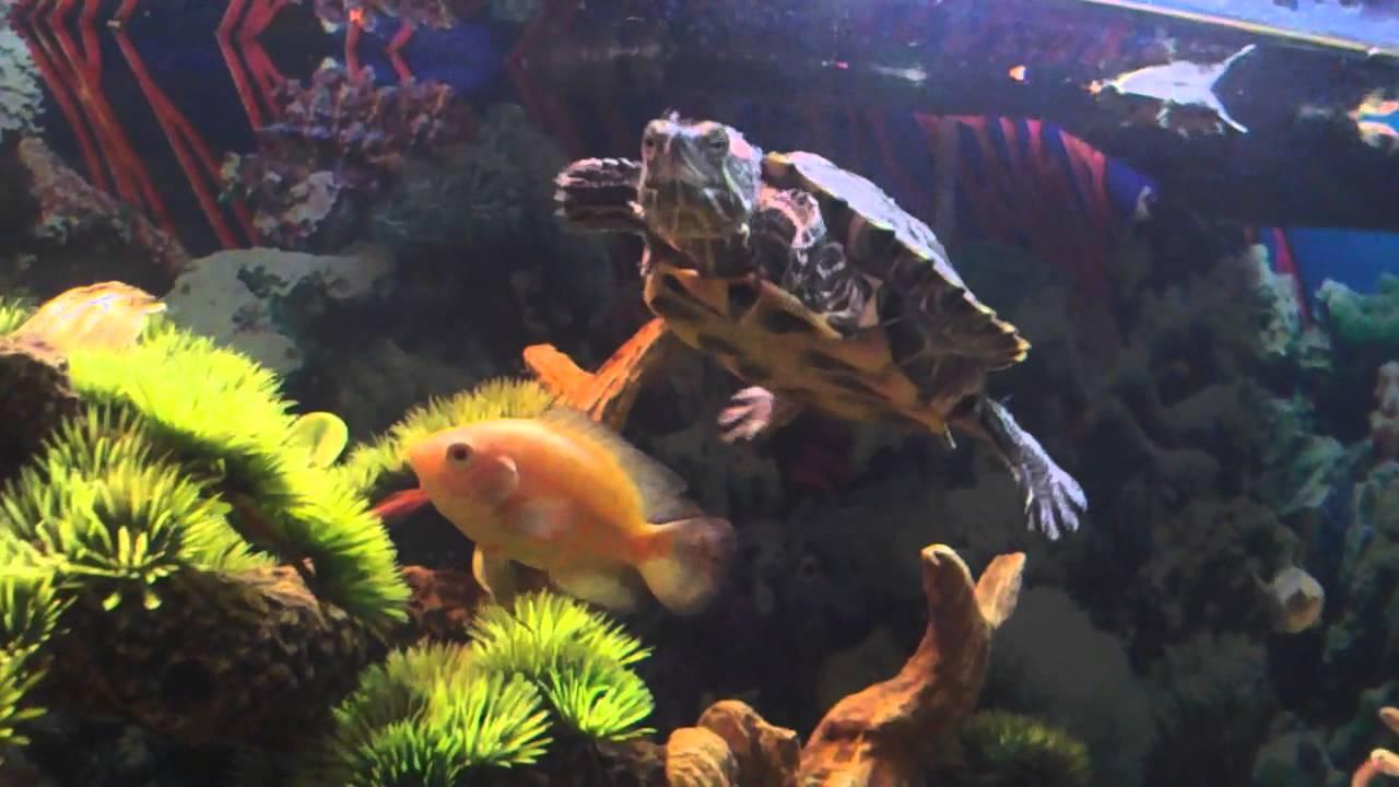 Awesome Turtle Tank Setup with Cichlids - YouTube