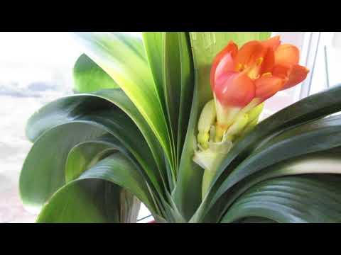 Цветёт кливия Будда - шикарный цветок!