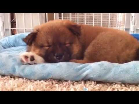 Shiba Inu pups play with mom -the music video