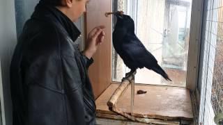 Ворон: Куриная косточка