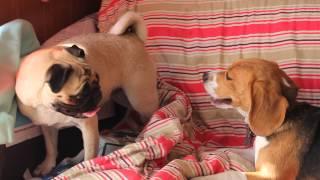 Sumire Vs Aisa (pug Vs Beagle)