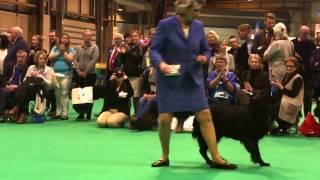 CRUFTS'17  flatcoated retrievers  best dog (CC)