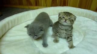 Британские котики. Питомник ELENICAT*RU