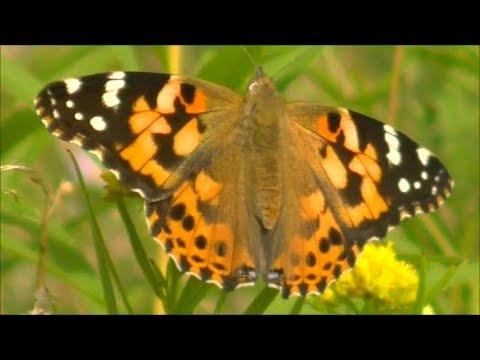 Painted Lady Butterflies, Prince Edward Island