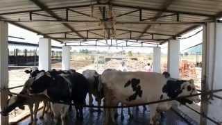 Biogas Digester in Dairy Farm Producing 30 kva Electricity /Power using Bio Gas Generator