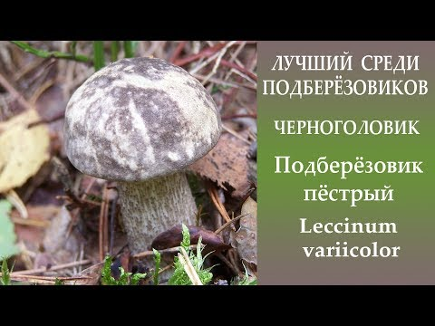 Лучший из подберёзовиков. Черноголовик - Подберёзовик пёстрый - Leccinum variicolor