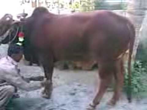Eid-ul-azha cow qurbani 2009 eid 2nd day - YouTubeQurbani Cow 2009