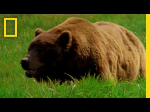 Man Fights Bear   National Geographic