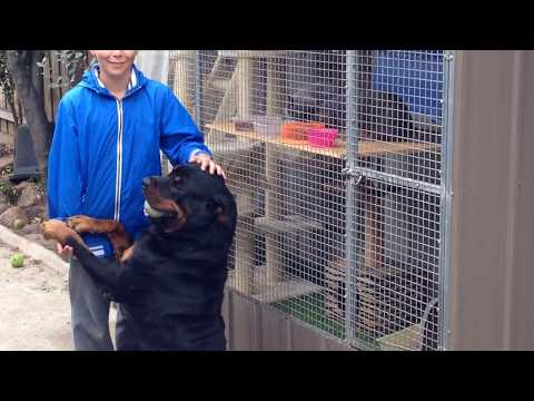 Rottweiler misses my son show his love when he see him after few weeks .